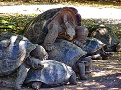 Two couples of Giant Tortoises mating. Galapagos islands