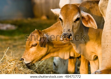 Two cows are eating rice straw.