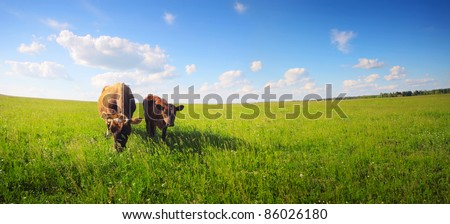 Two cows baby and mother grazing on a green meadow.