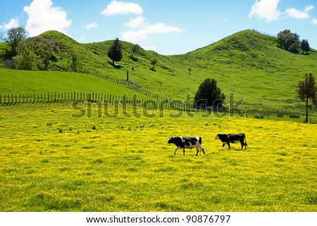 Two cows crossing yellow meadow. - stock photo