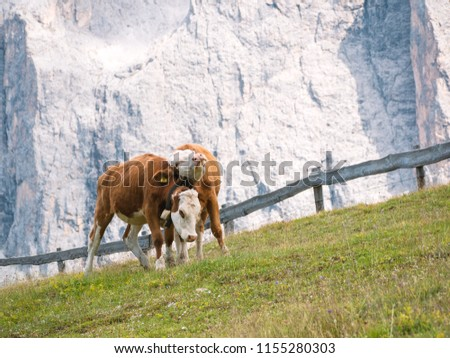 Two cows cuddle on a pasture in the mountains of the Italian alps in front of a rock wall #1155280303