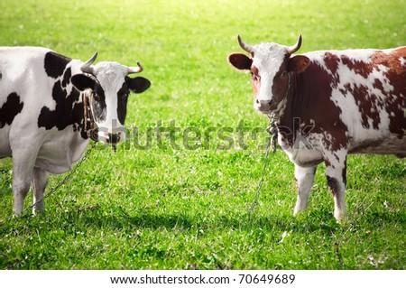 Two cows graze on green meadow