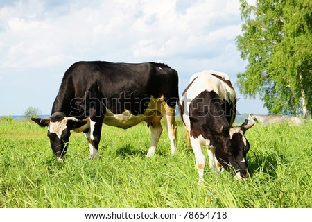 Two cows grazing in the field