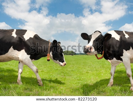 two cows in a dutch meadow