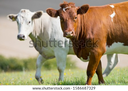 Two cows in rural field