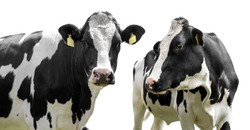 two cows isolated on a white background