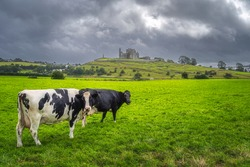 Two cows on green field or pasture looking at camera. Majestic castle from 12th century, Rock of Cashel, in the background, County Tipperary, Ireland