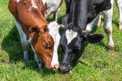 Two cows rubbing heads, lovingly and playful, grazing cuddling or fighting, together in a pasture, black red and white
