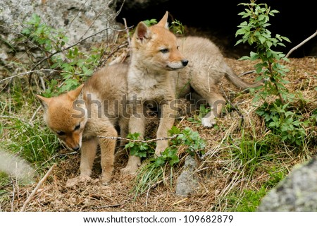 Two Coyote pups explore the world outside their den in Yellowstone National Park
