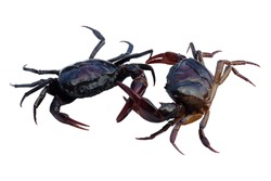 Two crab fighting (field crab) isolated on white background