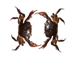 Two crabs in white background, crabs fighting to death, fight of  crabs, fight aggressive crabs