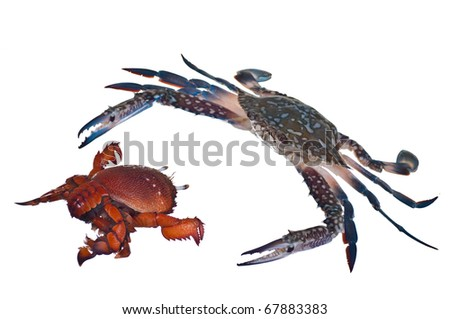 two crabs on white background