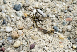 Two Crane Flies (Nephrotoma Spec.) in Copula from above II