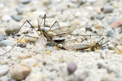 Two Crane Flies (Nephrotoma Spec.) in Copula - side view