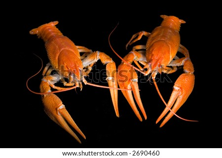two crayfish isolated on black