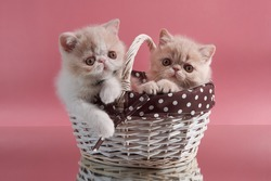 Two cream-colored exotic Persian kittens sit in a wicker basket on a pink background