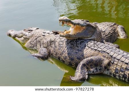 Two crocodiles - stock photo