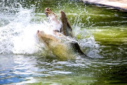 Two crocodiles are fighting in the water. Fighting in the water of amphibians. Animal power showdown. The battle of animals to fight the field.