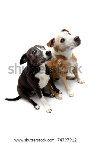 Two cross bred Staffordshire Terrier dogs sitting side by side