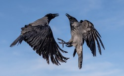 Two crows in the air-a crow to a crow, the eye will not bite out, such a saying