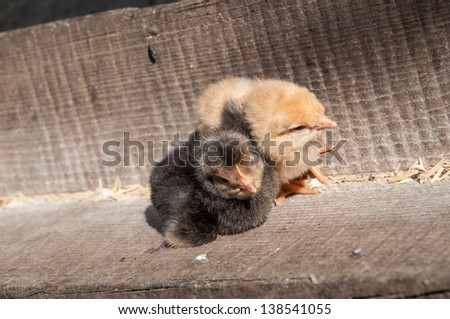 Two cure yellow and black little chicken on a farm, standing on wood at the sun