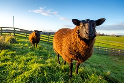 Two curious brown sheep in the grass on a dike in the South-Holland Hellegatspolder. This polder is located in the municipality of Lisse in the Netherlands.