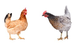 Two curious chicken standing together isolated on white background