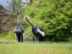 Two curious crown cranes