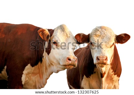 Two curious red and brown cows isolated on white - stock photo