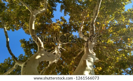Two curvy colorful plane trees under sun lights. Fall sycamore trees branches with bright saturated foliage #1261566073