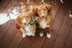 Two cute and adorable nova scotia duck tolling retriever dogs holding a rose in their mouth on a wooden background, valentines day, gift