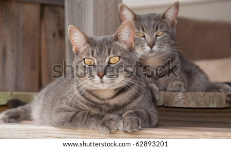 Two cute blue tabby cats resting on porch