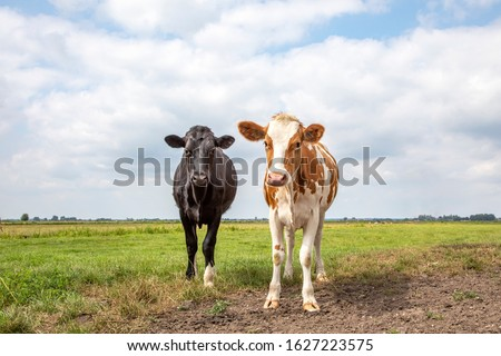 Two cute calves together in a green meadow, one black calf and a red white calf, under a cloudy blue sky and a faraway straight horizon.