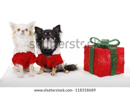 Two cute chihuahua dogs in santa costume sit beside christmas gift