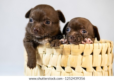 Free Photos Chihuahua Puppy In A Basket Isolated On White Avopixcom