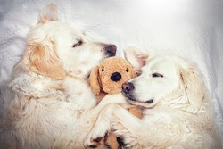 Two cute dogs cuddling with teddy in bed
