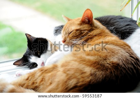 Two cute domestic short hair cats snuggle with one another in a window