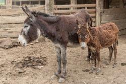 Two cute donkeys in farm