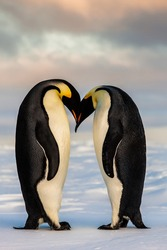 Two cute Emperor penguins in love