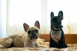 two cute french bulldog or puppy lying or resting on bed in room