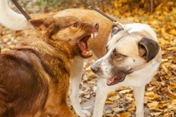 Two cute friends dogs playing together and biting in autumn park. Angry dogs fighting. Adoption from shelter concept. Mixed breed red fluffy and yellow labrador dogs.