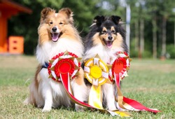 Two cute, fur sable white and black tan tricolor shetland sheepdog, sheltie sitting outside with red and yellow ribbon prizes. Smart smiling lassie dogs outdoors after winning dog sport competitions
