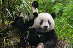 Two cute giant panda bears enjoy eating bamboo
