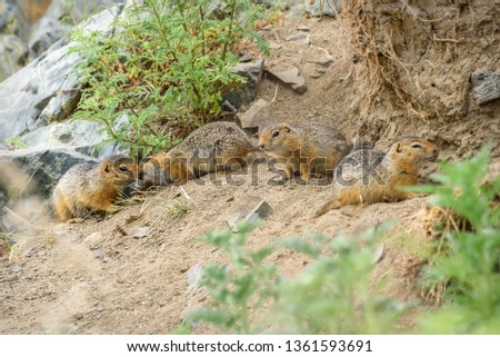 Two cute gophers rub their noses in the company of other gophers near their hole in the grass and stones in the steppe