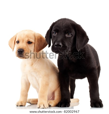 two cute labrador puppies - both very curious and looking at something