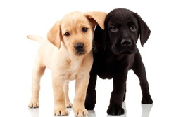two cute labrador puppies - both very curious , standing and looking at something