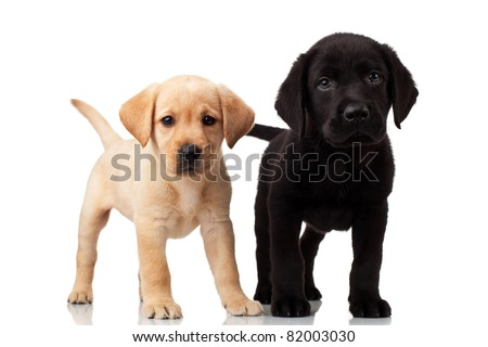 two cute labrador puppies - both very curious , standing and looking at the camera
