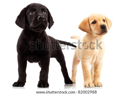 two cute labrador puppies - both very curious , standing and looking up at something