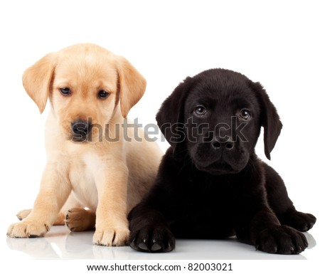 two cute labrador puppies - both very sad , looking at the camera