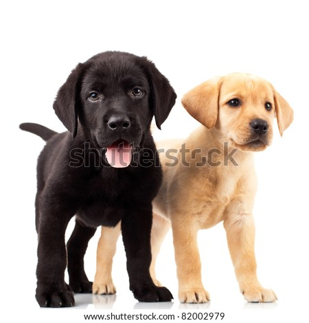 two cute labrador puppies one with mouth open and one looking away